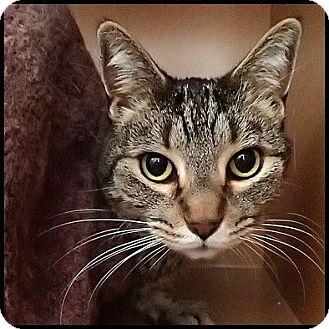 Domestic Shorthair Cat for adoption in Colorado Springs, Colorado - Joey