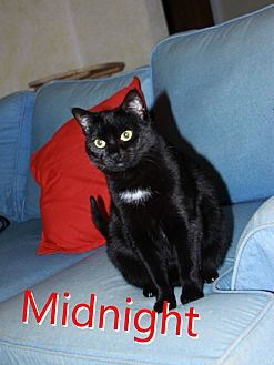 Domestic Shorthair Cat for adoption in Yuba City, California - Midnight