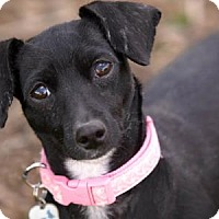 Dachshund Mix Dog for adoption in Colorado Springs, Colorado - Carmel