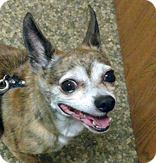 Chihuahua Mix Dog for adoption in Farmington Hills, Michigan - Peanut - Adoption Pending