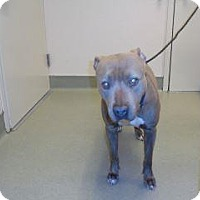 Pit Bull Terrier Mix Dog for adoption in Wildomar, California - Chyna