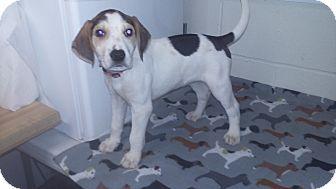 Treeing Walker Coonhound/Labrador Retriever Mix Puppy for adoption in Burgaw, North Carolina - Mason
