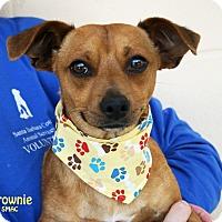 Adopt A Pet :: Brownie - Santa Maria, CA