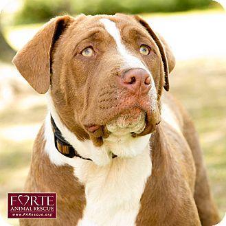 Labrador Retriever/Shar Pei Mix Dog for adoption in Marina del Rey, California - Kenny