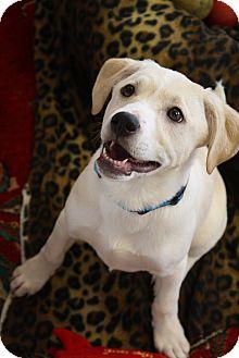 Labrador Retriever/Basenji Mix Puppy for adoption in Marietta, Georgia - Brodie