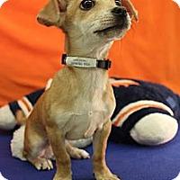 Adopt A Pet :: big Orange - Broomfield, CO