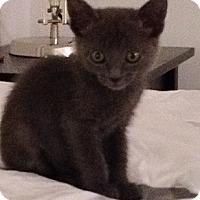 Adopt A Pet :: Miss grey - Santa Monica, CA