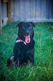 Labrador Retriever/German Shepherd Dog Mix Dog for adoption in Jackson, Mississippi - Beyonce