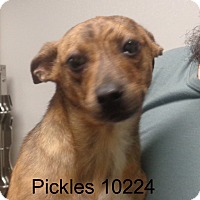 Adopt A Pet :: Pickles - Greencastle, NC