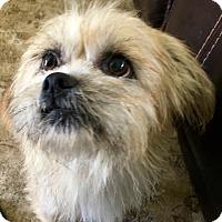 Adopt A Pet :: Sandy - Ocean Ridge, FL