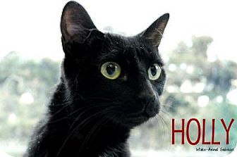 Domestic Shorthair Cat for adoption in Hamilton, Ontario - Holly