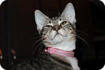 American Shorthair Cat for adoption in McKinney, Texas - Triton