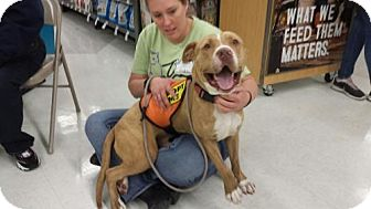 American Staffordshire Terrier Mix Dog for adoption in Olympia, Washington - Clyde