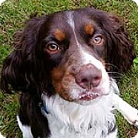 English Springer Spaniel Dog for adoption in Minneapolis, Minnesota - Jake