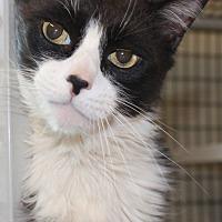 Adopt A Pet :: Smudge - Saranac Lake, NY