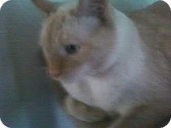 Siamese Cat for adoption in Lucerne Valley, California - Ice