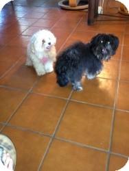 Pomeranian/Maltese Mix Dog for adoption in Marlton, New Jersey - Kai-Kai
