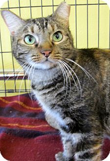 Domestic Shorthair Cat for adoption in Seminole, Florida - Shyla