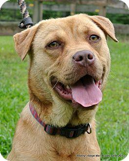 Pug/Labrador Retriever Mix Dog for adoption in Groton, Massachusetts - Ronny