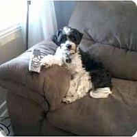Adopt A Pet :: Oscar (NJ) - Gilford, NH