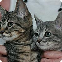 Adopt A Pet :: Echo - Canoga Park, CA