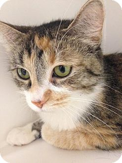 Domestic Shorthair Cat for adoption in Chicago, Illinois - Calista