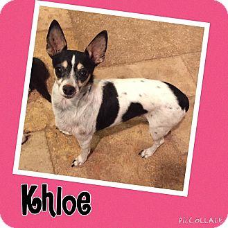 Rat Terrier/Chihuahua Mix Dog for adoption in Scottsdale, Arizona - Khloe