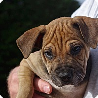Adopt A Pet :: Beatrix*ADOPTION PENDING* - Mill Creek, WA