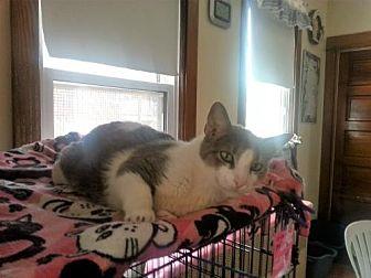 Domestic Shorthair Cat for adoption in Chicago, Illinois - Bradford
