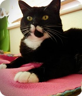 Domestic Shorthair Cat for adoption in Prescott, Arizona - Kitty