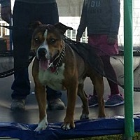 Adopt A Pet :: Brady - Middletown, OH