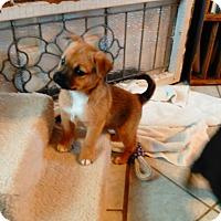 Adopt A Pet :: Anna, Darby & Jax - Denver, IN