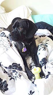 Pug Mix Dog for adoption in Hancock, Michigan - Happy! SPONSORED!