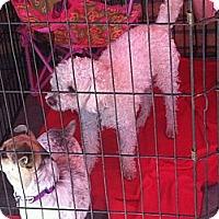 Adopt A Pet :: Francois - North Hollywood, CA