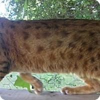 Adopt A Pet :: Gary Laser Eyes - Dallas, TX