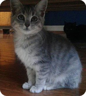 Domestic Shorthair Kitten for adoption in Arlington, Virginia - Lex - Adoption Pending