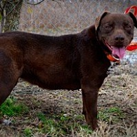 Staffordshire Bull Terrier Mix Dog for adoption in New Roads, Louisiana - Sheeba