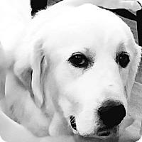 Adopt A Pet :: Holly - Garland, TX