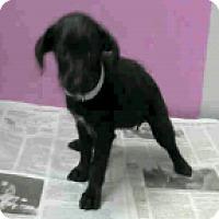 Adopt A Pet :: Violet - Fort Collins, CO