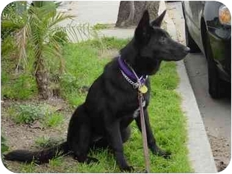 German Shepherd Dog/Flat-Coated Retriever Mix Dog for adoption in Bellflower, California - Lilly