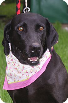Weimaraner/Labrador Retriever Mix Dog for adoption in Hutchinson, Kansas - Brileigh