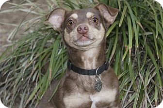 Chihuahua/Manchester Terrier Mix Dog for adoption in North Palm Beach, Florida - B B