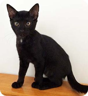Domestic Shorthair Kitten for adoption in Merrifield, Virginia - Cricket