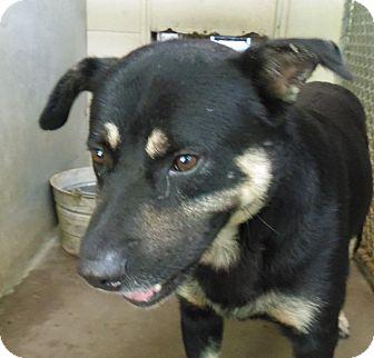 Shepherd (Unknown Type) Mix Dog for adoption in Henderson, North Carolina - John