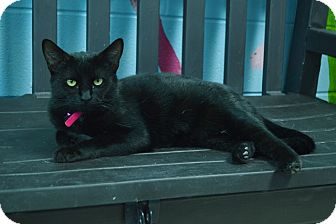 Domestic Shorthair Cat for adoption in Evansville, Indiana - Meadow