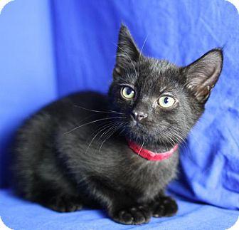 Domestic Shorthair Kitten for adoption in Winston-Salem, North Carolina - Kelvin