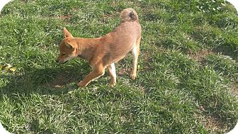 Shiba Inu Puppy for adoption in Loveland, Colorado - Ledecky