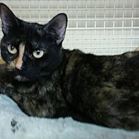 Domestic Shorthair Cat for adoption in Mount Pleasant, South Carolina - Luna