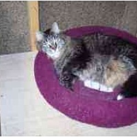 Maine Coon Cat for adoption in Pasadena, California - Sweet Pea