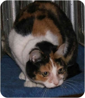 Calico Cat for adoption in New York, New York - Good Golly MissPolly